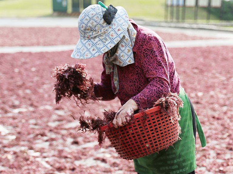 [貢寮] 除了海景,另一種海邊故鄉的記憶 -  石花菜鋪成的天然絨毯