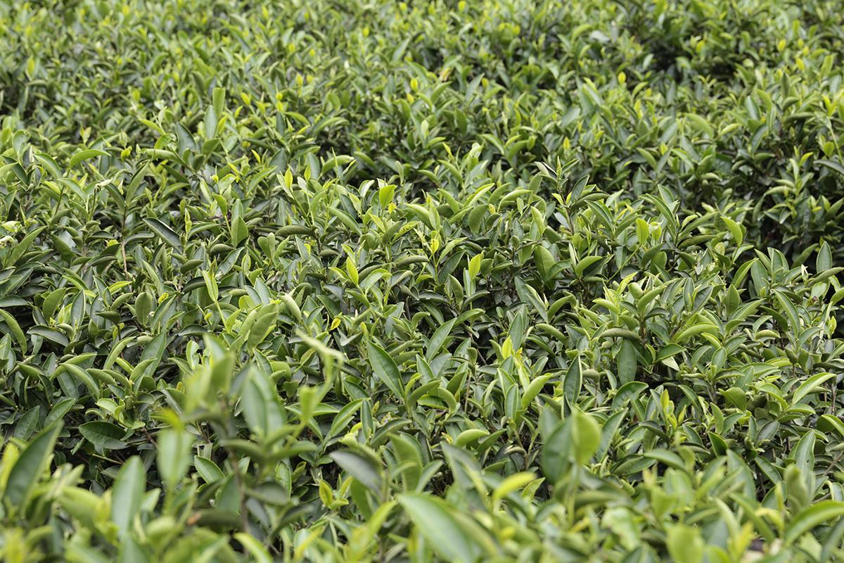 甘樂茶品 許多人熱愛的三峽碧螺春系列甜點,其中的靈魂風味—碧螺春綠茶,就是來自三峽天芳茶行!   甘樂食堂下午茶   古厝裡的美味時光