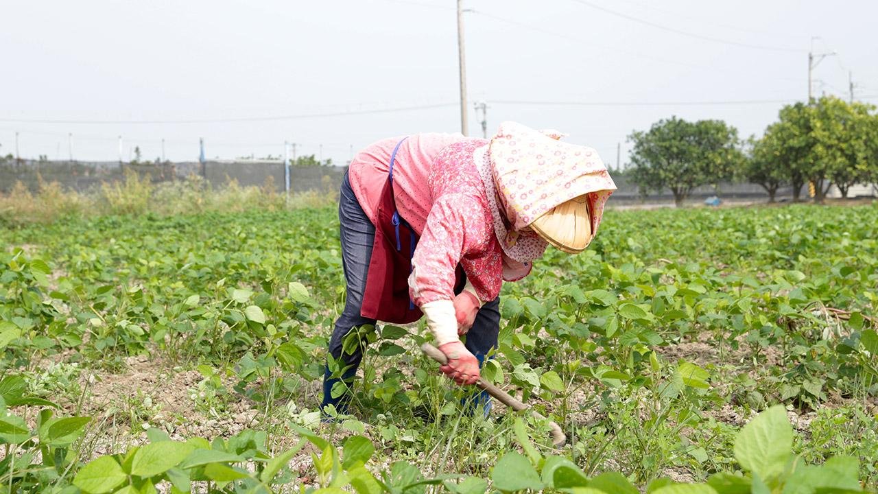 早在國外有研究指出食用基改黃豆有增加不孕、器官病變和罹癌機率的可能性,但為何市面上販售的豆製品大部分都還是由基改黃豆製造的呢?原因是在價格上基改黃豆有無法比擬的優勢,植入了抗除草劑、抗蟲害、抗寒害基因的基改黃豆,降低了蟲害的風險、降低了農藥的使用還提高了單位面積的產量,在這麼多優點的背後,卻是犧牲了生態環境與國人的健康安危所換來的。 | 改變生命的豆漿店